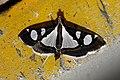 Glyphodes bicolor Crambidae by Dr. Raju Kasambe DSCN0453 (7).jpg