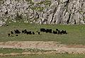 Goats herding in Kaynar 01.jpg
