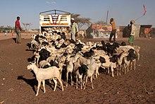 Goats in Somaliland.jpg