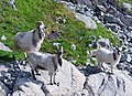 Goats on Lysefjord's wall - Norway - panoramio.jpg