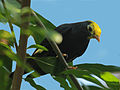 Golden-crested Myna RWD.jpg