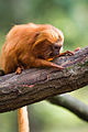 Golden lion tamarin forage.jpg