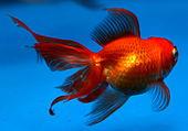 Goldfish (3230447522).jpg