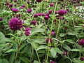 Gomphrena globosa from Lalbagh flower show Aug 2013 8116.JPG