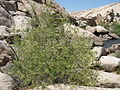 Goodding's willow (Salix gooddingii); Barker Dam Trail.jpg