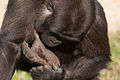 Gorilla stepped on something (3956783594).jpg