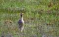 Grågås Greylag Goose (20162986390).jpg