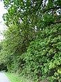 Grabhügelgruppe Hartwald Wald 6.jpg