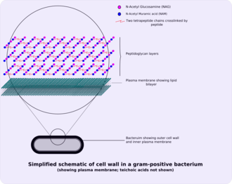 Peptidoglycan - Image: Gram positive cellwall schematic