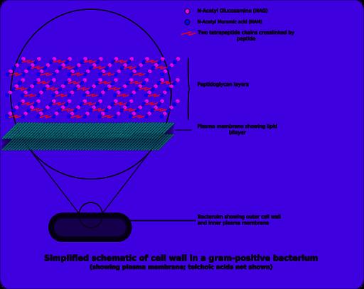 Gram-positive cellwall-schematic