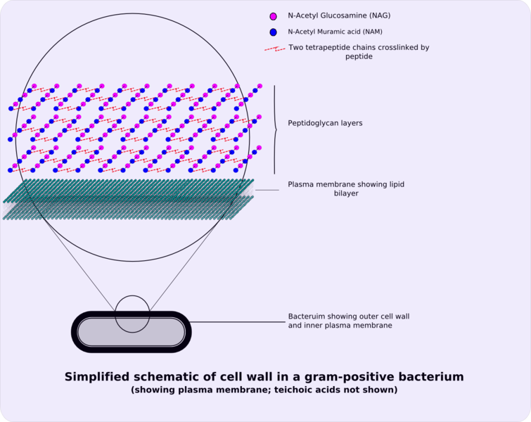 Datoteka:Gram-positive cellwall-schematic.png