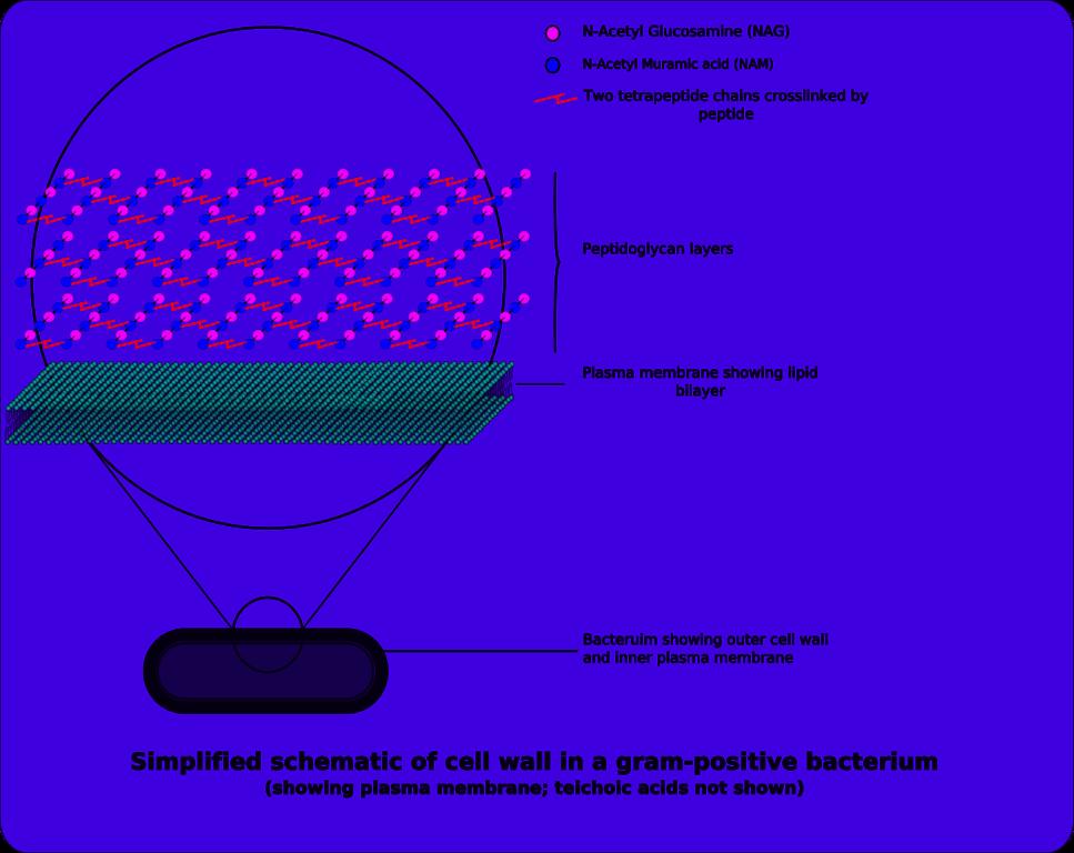 Cellhöljet hos en grampositiv bakterie.