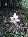 Grandalla (Narcissus poeticus) al Montseny (Catalunya).jpg
