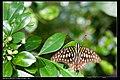 Graphium agamemnon (7350977764).jpg