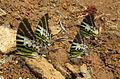 Graphium antiphates - Five-bar Swordtail 22.jpg