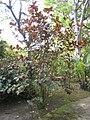 Graptophyllum pictum 'rosea' - Jardin d'Éden.JPG