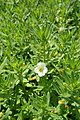 Gratiola officinalis kz09.jpg
