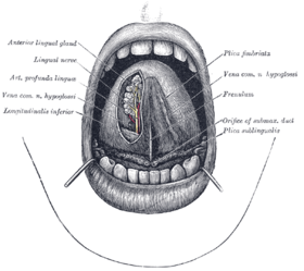 The mouth cavity. (Longitudinalis inferior labeled at bottom left.)
