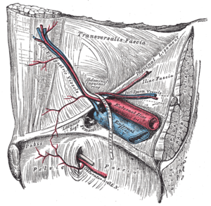 Femoral ring - The relations of the femoral and abdominal inguinal ring, seen from within the abdomen. Right side (femoral ring visible at center)