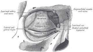 Supraorbital nerve