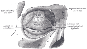 Supraorbital vein - The tarsi and their ligaments. Right eye; front view. (Supraorbital vessels labeled at upper right.)