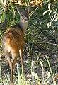 Gray Brocket Deer (Mazama gouazoubira) female.jpg
