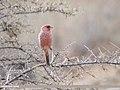 Great Rosefinch (Carpodacus rubicilla) (46304205421).jpg