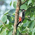 """Great Spotted Woodpecker with """"punkhead"""" in our garden at Schaarsbergen, destroying the tree with his nails - panoramio.jpg"""