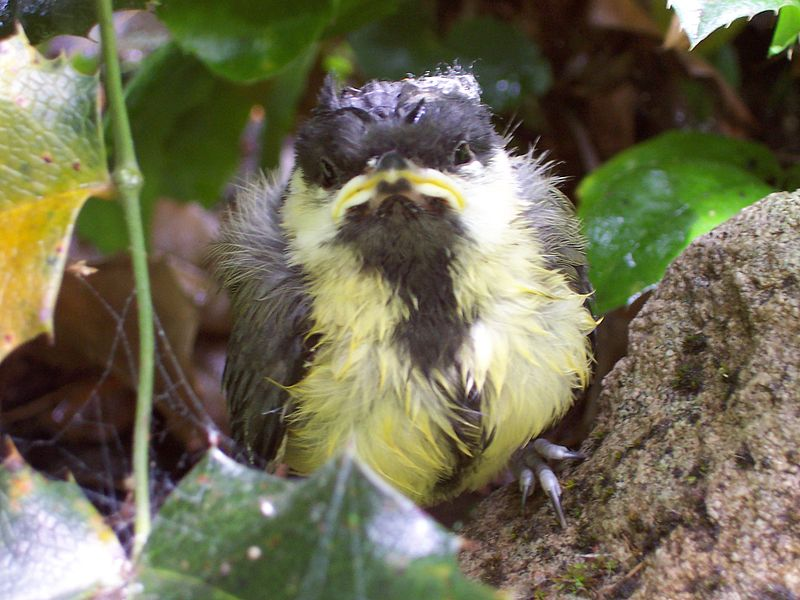 File:Great Tit fledgeling.jpg