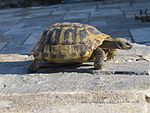 Greek-turtle 0460.JPG