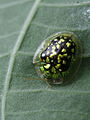 Green & black Tortoise beetle (Chrysomelidae, Cassidinae) from Java (6652237217).jpg