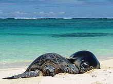 Green Sea Turtle and Hawaiian Monk Seal (31041167138).jpg