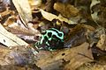 Green and black poison dart frog at Chester Zoo 1.jpg