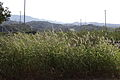 Green bristle grass (Setaria viridis) (21837925595).jpg