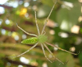 Green orb spider.jpg