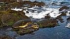 Green sea turtle at Punaluu beach, Hawaii.jpg