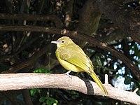 Greenbul botswana