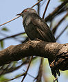 Grey-bellied Cuckoo (Cacomantis passerinus) at Hyderabad, AP W 075.jpg