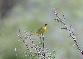 Grey-crowned Yellowthroat 2496243984.jpg