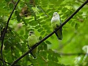 Two green parrots, the right with white chest and head