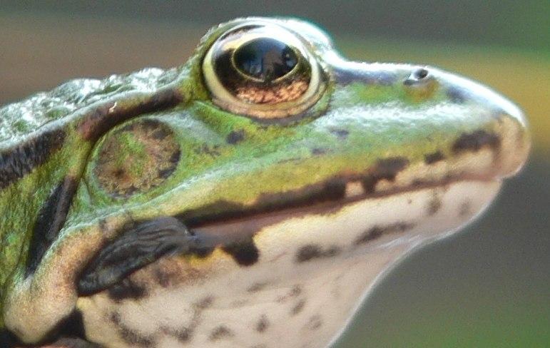 Groene kikker achter Bekaert-draad-detail oog