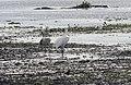 Grus canadensis (Sandhill Crane) 41.jpg
