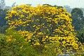 Guayacán amarillo (Tabebuia chrysantha) (15414582978).jpg
