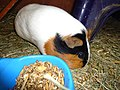 Guina pig domesticated 4.jpg