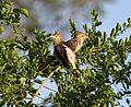 Guira guira Pantanal.jpg