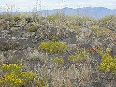 240px gutierrezia sarothrae (4031383265)