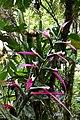 Guzmania wittmackii (Bromeliaceae).jpg