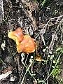 Gymnopilus sapineus 60739283.jpg