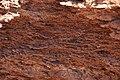 Gypsiferous red shale (thin, irregular gypsum plates in hematite-rich shale), Moenkopi Fm. (Lower Triassic), Virgin River Valley, near Zion National Park, sw Utah 1 (8428555154).jpg