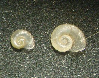 Micromollusk - Two shells of the freshwater snail Gyraulus crista, about 2 or 3 mm in width